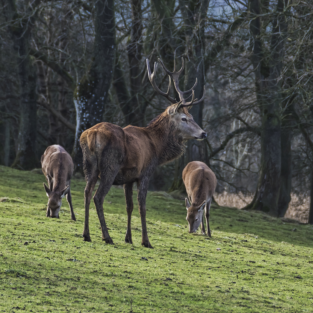 Stag. Image available from Simon Westwood of Fly-by-Light Photography.