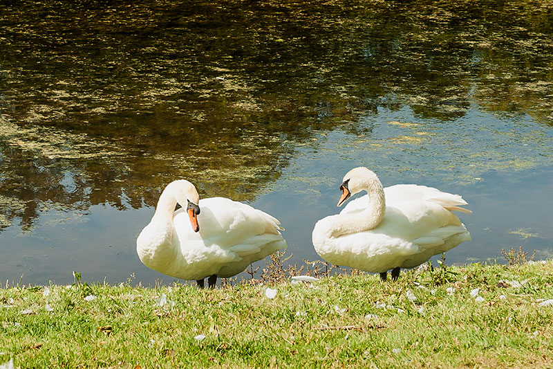Swans at Croome Park. Image available from Simon Westwood of Fly-by-Light Photography.