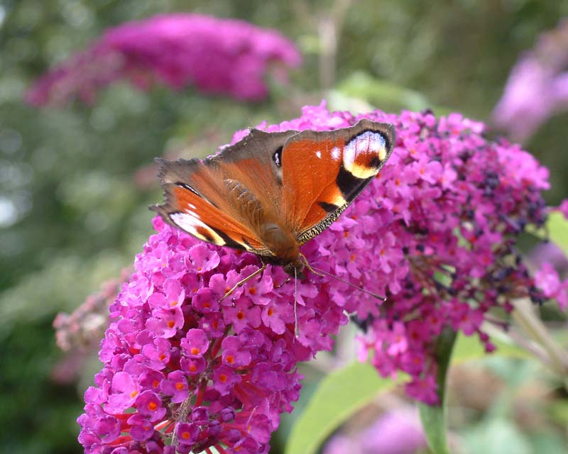 Peacock Butterfly on Buddlea. Image available from Simon Westwood of Fly-by-Light Photography.