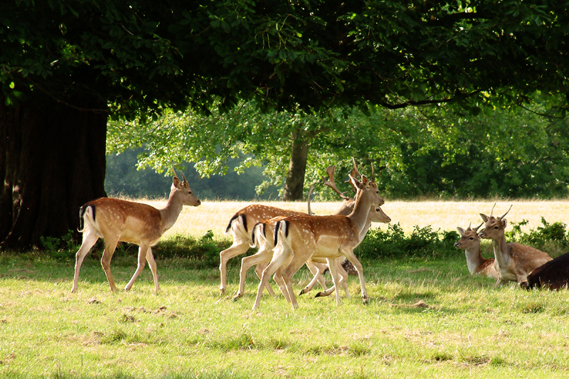 Fallow Deer - Warwickshire. Image available from Simon Westwood of Fly-by-Light Photography.