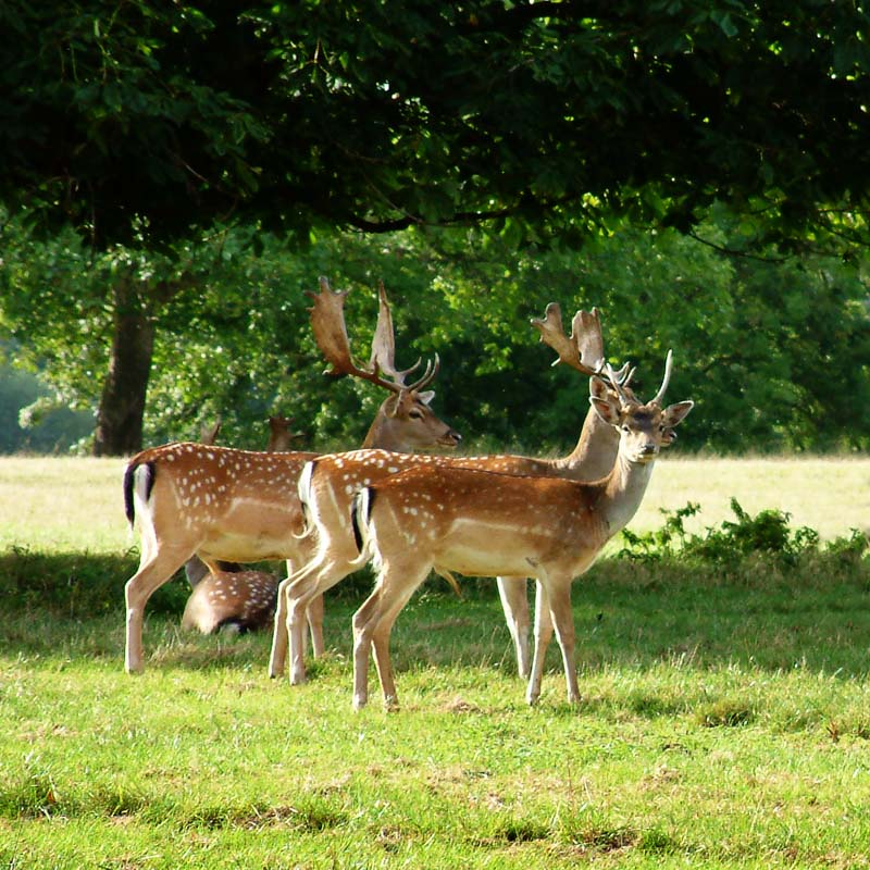 Fallow Deer, Warwickshire. Image available from Simon Westwood of Fly-by-Light Photography.
