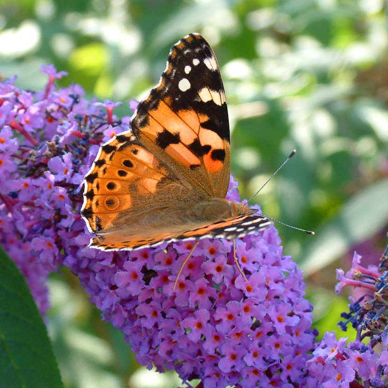 Painted Lady Butterfly on Buddlea. Image available from Simon Westwood of Fly-by-Light Photography.