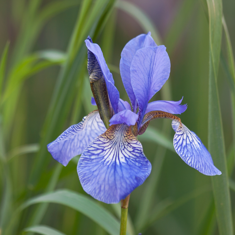 Blue Iris. Image available from Simon Westwood of Fly-by-Light Photography.