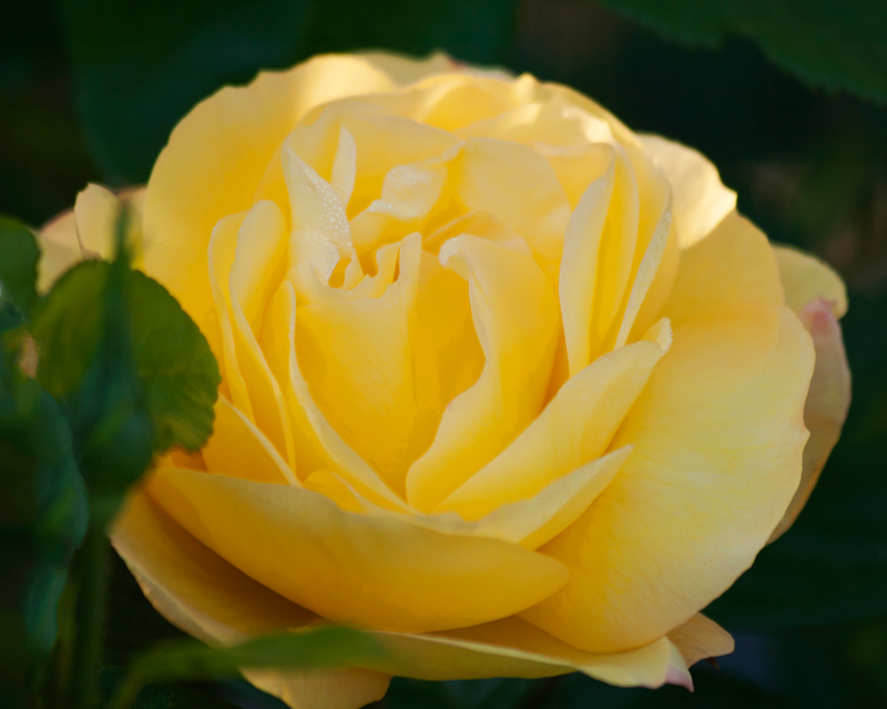 Floribunda Rose. Image available from Simon Westwood of Fly-by-Light Photography.