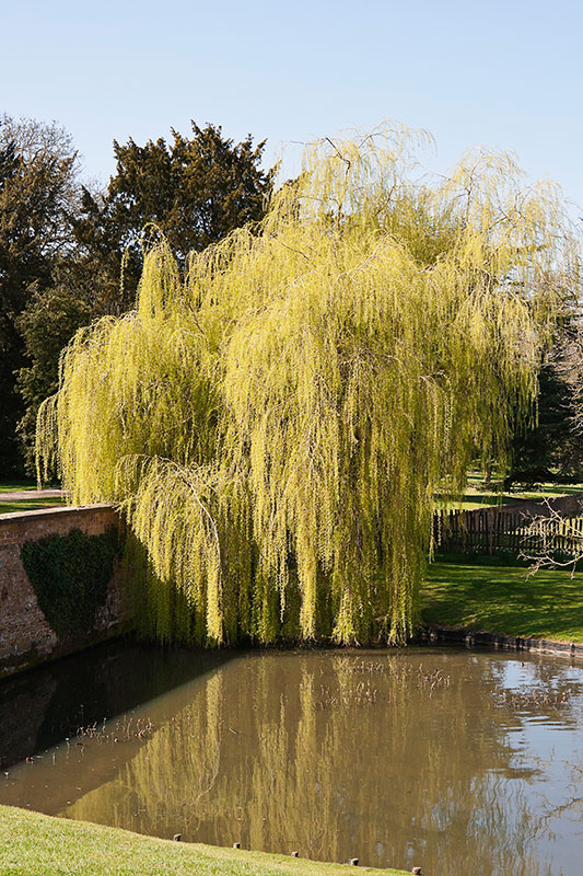 Weeping Willow. Image available from Simon Westwood of Fly-by-Light Photography.