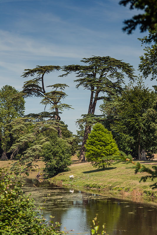 Cedars at Croome Park. Image available from Simon Westwood of Fly-by-Light Photography.