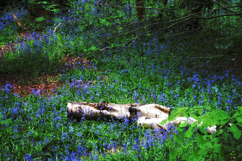 Bluebell Wood. Image available from Simon Westwood of Fly-by-Light Photography.