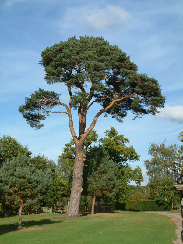 Scots Pine. Image available from Simon Westwood of Fly-by-Light Photography.